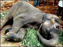 Komala  Asian elephant (Elephas maximus) at Mysore Zoo in India